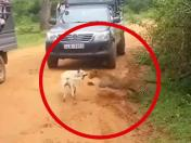 Facebook: cachorro sobrevive al brutal ataque de un leopardo de manera inesperada | VIDEO