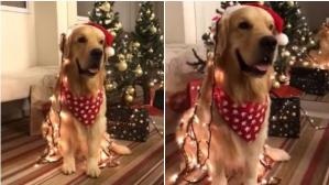 Un tierno can es protagonista de un video muy popular en YouTube con motivo navideño