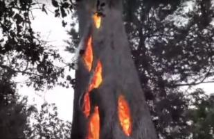 California: Graban un árbol que se incendió desde adentro [VIDEO]