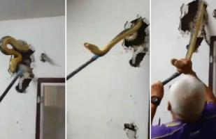 YouTube: hallaron enorme pitón dentro de pared de una casa [VIDEO]